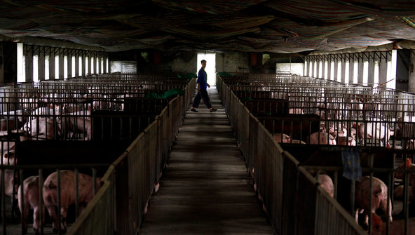 "David Gray/Reuters""A pig farm on the outskirts of Beijing."" - Source: International Herald Tribune"