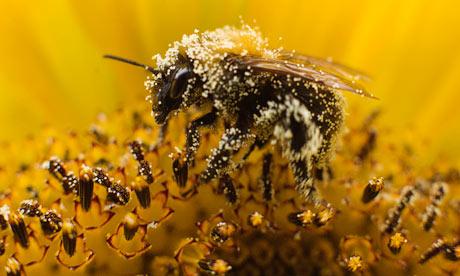 """A bee collects pollen from a sunflower."" Photograph: Michael Kooren/Reuters"