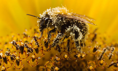 """""""A bee collects pollen from a sunflower in Utrecht, the Netherlands. EU states have voted in favour of a proposal to restrict the use of pesticides linked to serious harm in bees."""" Photograph: Michael Kooren/Reuters"""