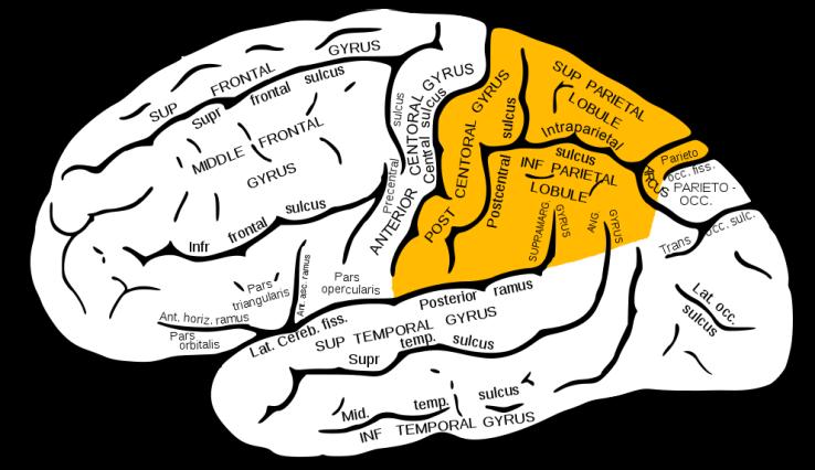 Parietal lobe Source: Wikipedia