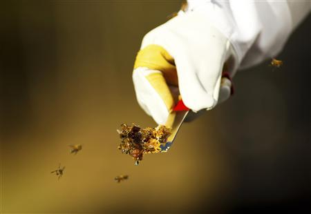 """Jeff Nice carries a small piece of honeycomb as honey bees swarm on his farm in Kinston, North Carolina in this December 14, 2012 file photo."" Credit: Reuters/Chris Keane/Files"
