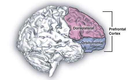 Prefrontal cortex Source: Wikipedia
