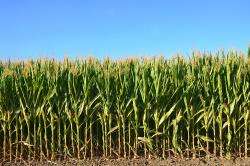 Field of corn Photo: Shutterstock