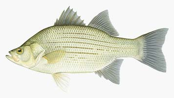 White Bass – by KDFWR Artist Rick Hill Source: Courier
